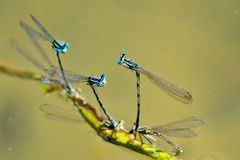 Coupling and reproduction blue dragonflies on the lake. So many pairs of blue dragonflies blend on the shore of the lake Royalty Free Stock Photography