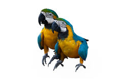 Couplues of blue macaw Stock Image