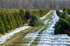 Coupure d'un arbre vivant à une ferme d'arbre de Noël Image libre de droits