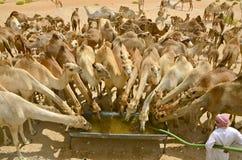 Coupure de l'eau de chameau Photos libres de droits