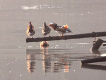 Cour de canard de mandarine image libre de droits