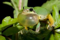 Cour de grenouille d'arbre au printemps Image stock