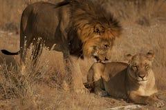 Cour entre le lion et la lionne 2 Photographie stock