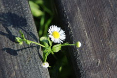 Courageous Daisy royalty free stock photography