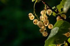 Courant blanc Baie de jardin Photos libres de droits