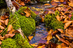Courant minuscule de l'eau par la mousse et les feuilles tombées à l'automne, montagne de Radocelo Photos stock
