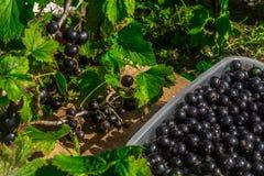 Courant noir Rassemblez les baies Cassis dans un conteneur photos stock