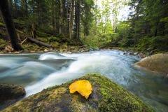Courant vert sauvage traversant fluide de rivi?re de for?t de montagne avec l'eau clair comme de l'eau de roche et la feuille jau image libre de droits