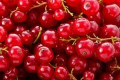 Courants rouges (rubrum de Ribes) Photo stock