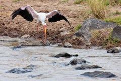 Courbé volant de cigogne blanche à l'eau Photographie stock