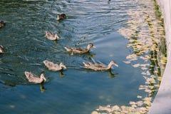 Courbe de 5 canards sauvages dans les eaux bleues de la rivière sur a Photographie stock