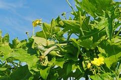 Courge d'éponge avec le vert et la fleur Images libres de droits