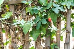 Courge d'éponge sur le bambou Photos libres de droits