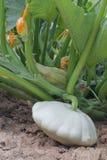 Courge de blanc de Pattypan Image stock
