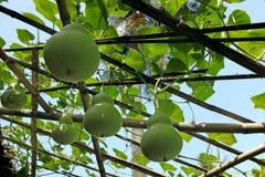 Courge verte - siceraria de Lagenaria Photos libres de droits