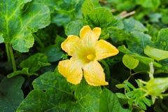 Courgette (Cucurbita-pepo) gele bloem en groene bladeren Bloem Royalty-vrije Stock Foto's
