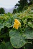 Courgette (Cucurbita-pepo) gele bloem en groene bladeren Bloem Stock Afbeeldingen