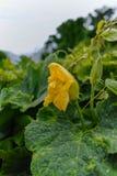 Courgette (Cucurbita-pepo) gele bloem en groene bladeren Bloem Royalty-vrije Stock Afbeeldingen