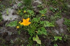 Courgette in de tuin Royalty-vrije Stock Foto