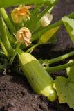 Courgette in de tuin Royalty-vrije Stock Afbeelding