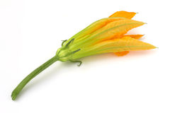 Courgette flower Stock Image