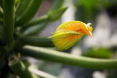 Courgette flower on the field Stock Photos