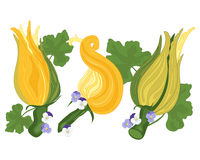 Courgette flower Stock Images