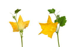 Courgette flower view Royalty Free Stock Photo