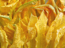 Courgette flowers Stock Image