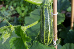 Courgette With Leaves Marrow Zucchini Stock Photography