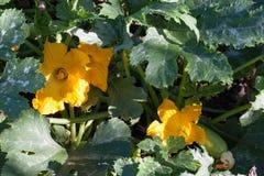 Courgette ou courgette avec des fleurs dans un potager photos libres de droits