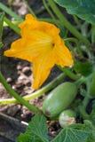 Courgette ou courgette avec des fleurs dans un potager photographie stock