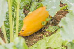 Courgette plant (Cucurbite pepo) Royalty Free Stock Image