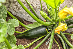 Courgette plant Stock Image