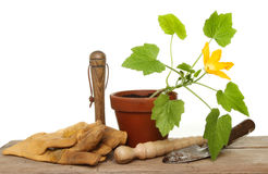 Courgette plant and tools Stock Photos