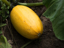 Courgette plant with yellow fruit in the garden Stock Photography