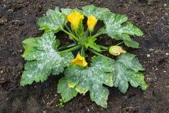 Courgette rośliny dorośnięcie z kolorów żółtych kwiatami i zielonymi warzywami Zdjęcie Royalty Free