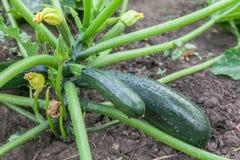 Courgette verte s'élevant dans le jardin Images stock