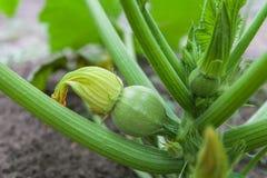 Courgette verte s'élevant dans le jardin Photos libres de droits