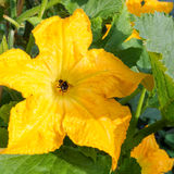 Courgette Yellow Flower Marrow Zucchini Bumblebee Pollinating Royalty Free Stock Photography