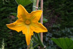 Courgette Yellow Flower Marrow Zucchini Stock Image