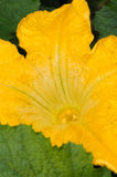 Courgette Yellow Flower Marrow Zucchini Royalty Free Stock Images