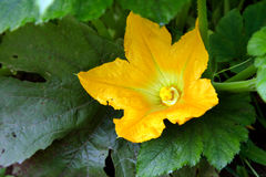 Courgette - yellow flower zucchini blossoms in the garden among Stock Photo