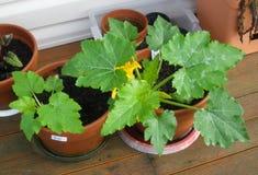 Courgette/Zucchini de florescência Imagens de Stock