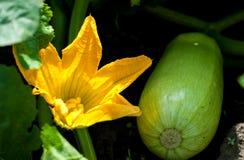 Courgettebloem en fruit Royalty-vrije Stock Afbeelding