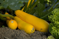 Courgettes - 02 Stock Photos