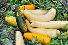 Courgettes harvest. The stack of fresh harvested courgettes Stock Images