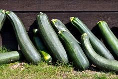 Courgettes lie in the Sun. Stock Image