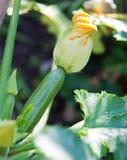 Courgettes ou abobrinha com flores imagens de stock