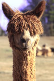 Curious alpaca. Looking directly at camera. Perhaps never seen one before Stock Images